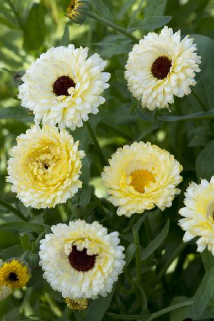 Calendula officinalis snow princess photo fleuroselect