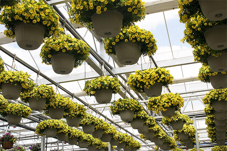 Calibrachoa aloha canary yellow