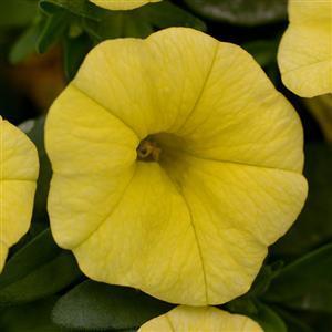 Calibrachoa cabaret lemon