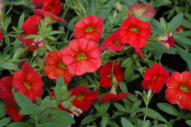 Calibrachoa cabaret scarlet