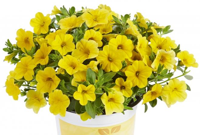 Calibrachoa calita compact gold
