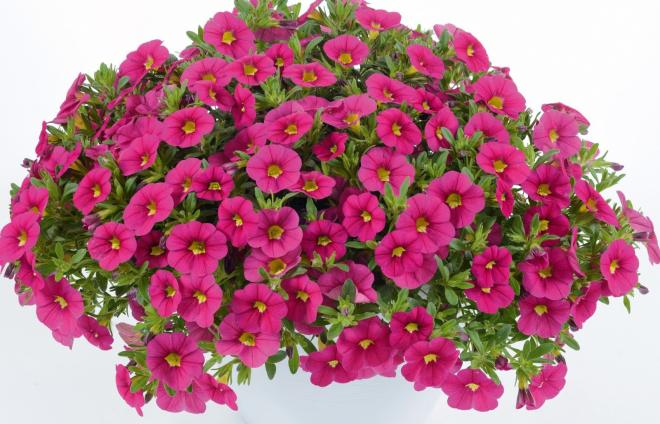 Calibrachoa calita compact rose