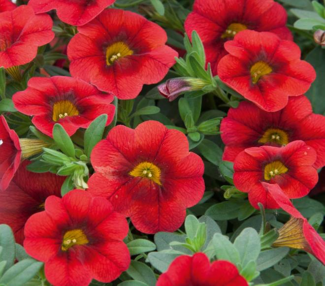 Calibrachoa calita compact scarlet red eye