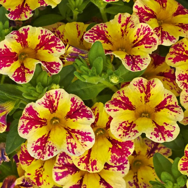 Calibrachoa calita compact vanilla rose star