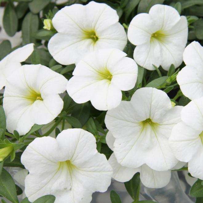 Calibrachoa calita compact white