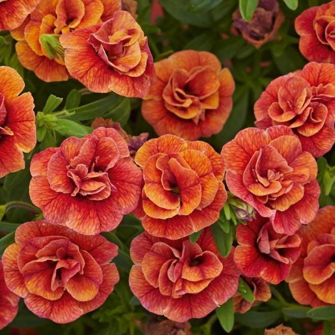 Calibrachoa calita double orange