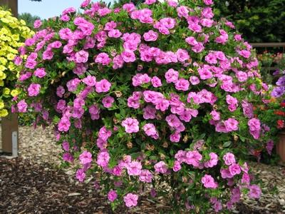 Calibrachoa calita double rose