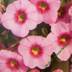 Calibrachoa calita pink morn