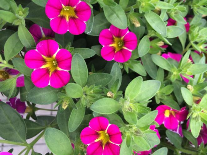 Calibrachoa caloha pink and yellow eye