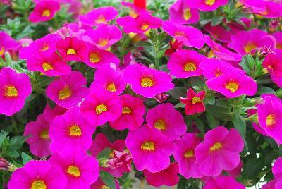 Calibrachoa can can neon pink