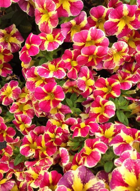 Calibrachoa candy bouquet