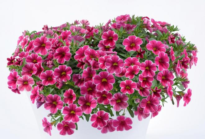 Calibrachoa colibri cherry lace photo danziger