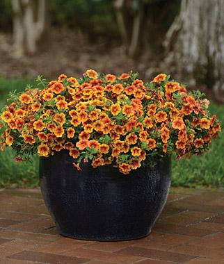 Calibrachoa crave sunset