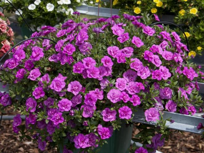 Calibrachoa cultivars minifamous double pink photo fleuroselect 2
