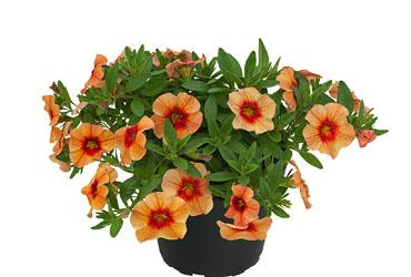 Calibrachoa unique mango punch