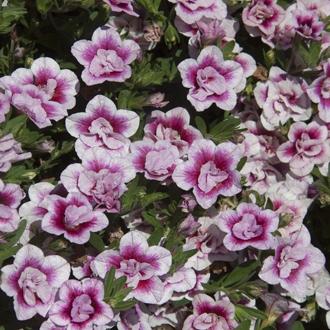 Calibrachoa x compact minifamous double pinktastic