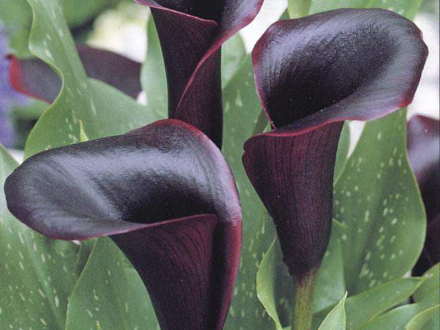 calla-black-star.jpg