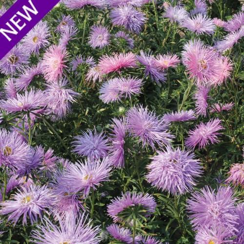 Callistephus chinensis star violet 500x500