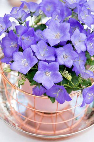 Campanula florentes avida blue