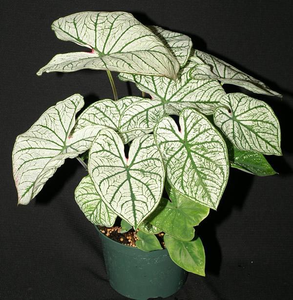 Candidum caladium