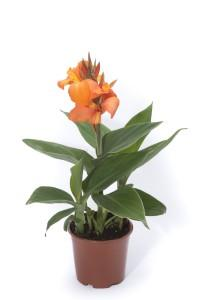 Canna cannova mango photo takii europe 200x300