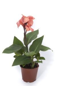 Canna cannova orange shades photo takii europe 200x300