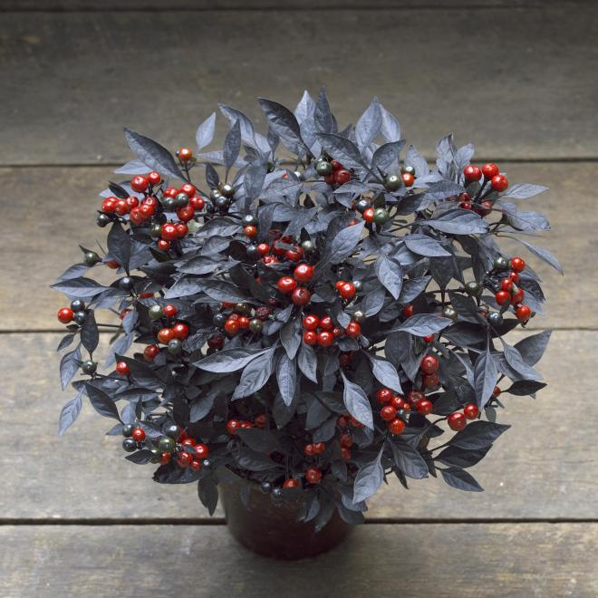 Capsicum annuum onyx red photo all america selections sq