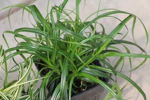Carex censation