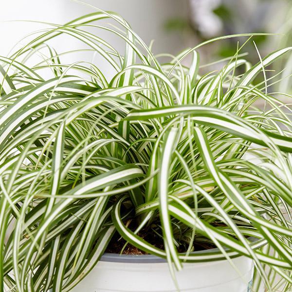 Carex everlite