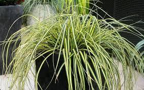 Carex everoro