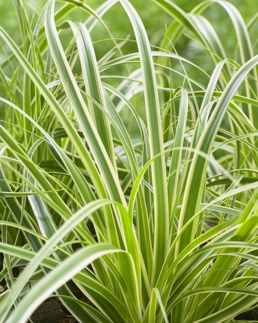 Carex oshimensis evercream photo fitzgerald nurseries ii