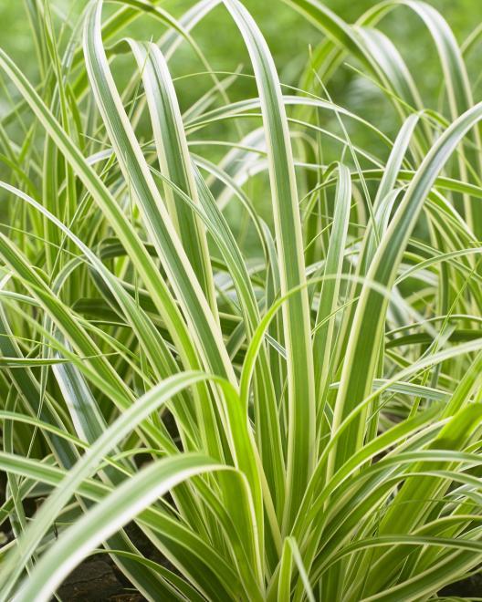 Carex oshimensis evercream photo fitzgerald nurseries ii