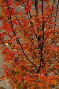 Carpinus betulus orange retz photo pepinieres minier 199x300