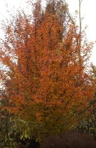 Carpinus betulus orange retz photo pepinieres v 196x300