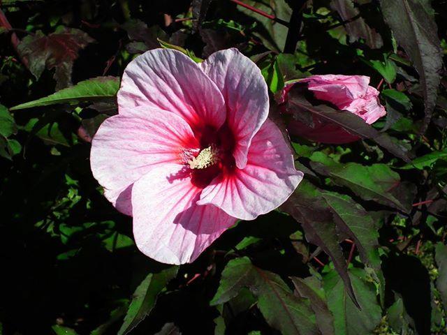 Carrousel hibiscus