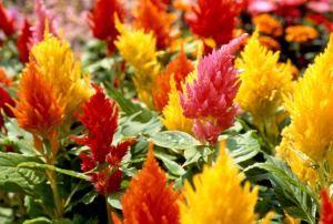 Celosia plant 2