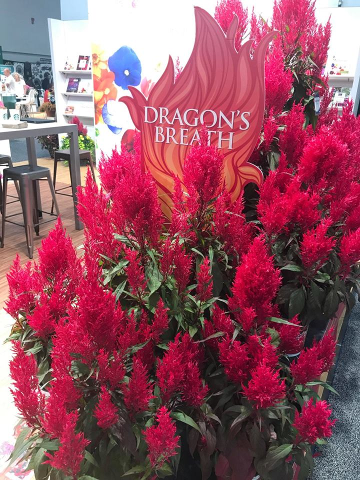 Celosie argentea plumosa dragon s breath 1