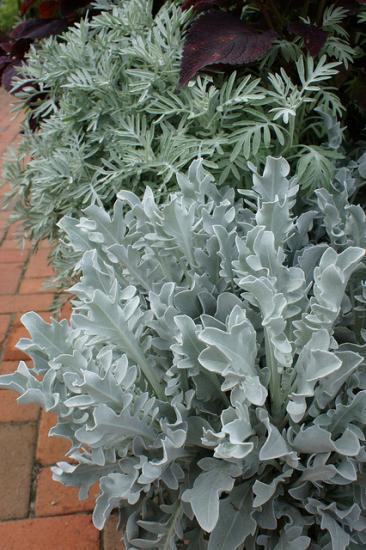 Centauree rutifolia