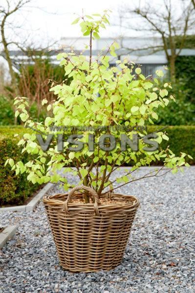Cercidiphyllum japoinicum ra 1
