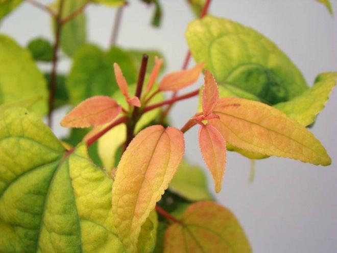Cercidiphyllum japoinicum ra