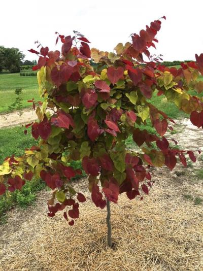 Cercis canadensis flame thrower 1
