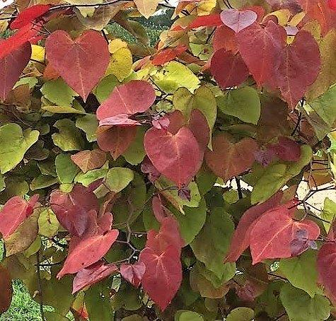 Cercis canadensis flame thrower2jpg