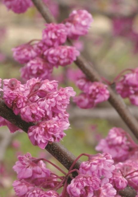 Cercis canadiensis pink pom poms