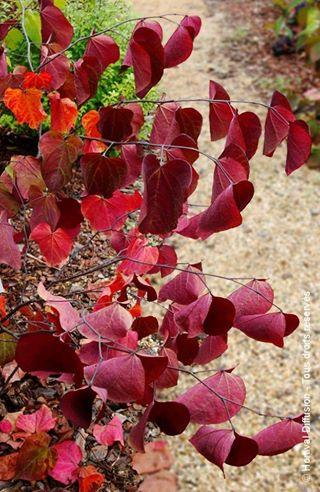 Cercis canadiensis red force pepinieres minier