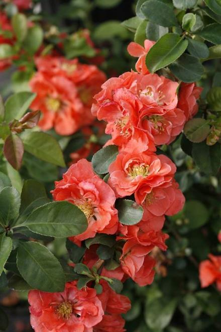 Chaenomeles speciosa double take peach