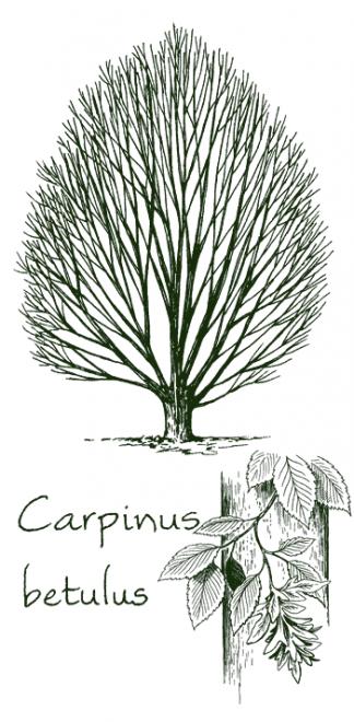 Charles carpinus
