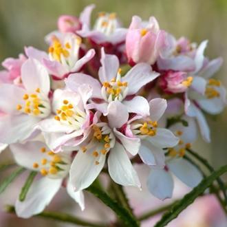 Choisia ternata apple blossom kerisnel sv