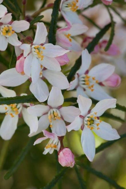 Choisya ternata apple blossom