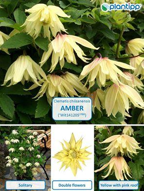 Clematis amber