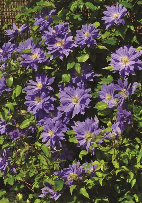 Clematis copernicus photo clematis rod o dobrych pn czy